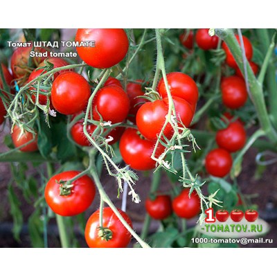 Томат ШТАД ТОМАТЕ   Stad tomate